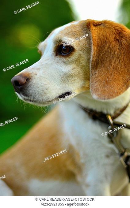 A lemon beagle in soft focus, Pennsylvania, USA
