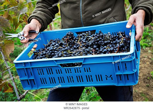 A man holding a crate of picked red grapes
