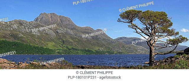 Scots pine tree (Pinus sylvestris L.) on the shores of Loch Maree and the mountain Slioch, Wester Ross, Scottish Highlands, Scotland, UK
