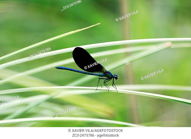 Calopteryx virgo, swamp of Herretang, Saint Laurent du Pont, Nature of the french Alps, Isere, Rhone Alpes, France