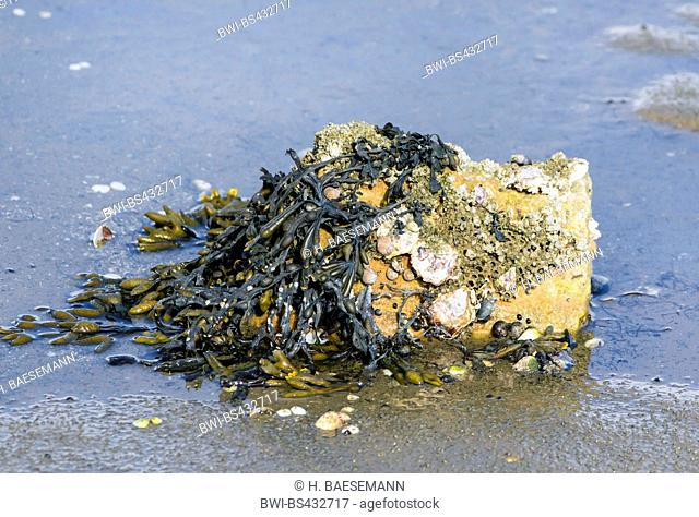 overgrown stone with barnacles and seaweed at the wadden sea, Germany, Schleswig-Holstein, Northern Frisia, Hallig Hooge
