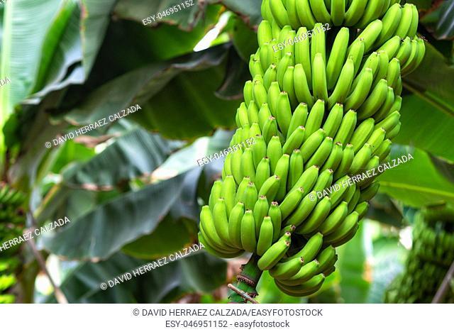 banana bunch at the banana plantation platano of Tenerife, Canary islands
