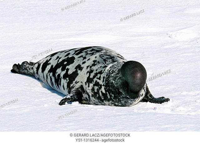 HOODED SEAL cystophora cristata, MALE ON ICE FIELD, MAGDALENA ISLAND IN CANADA