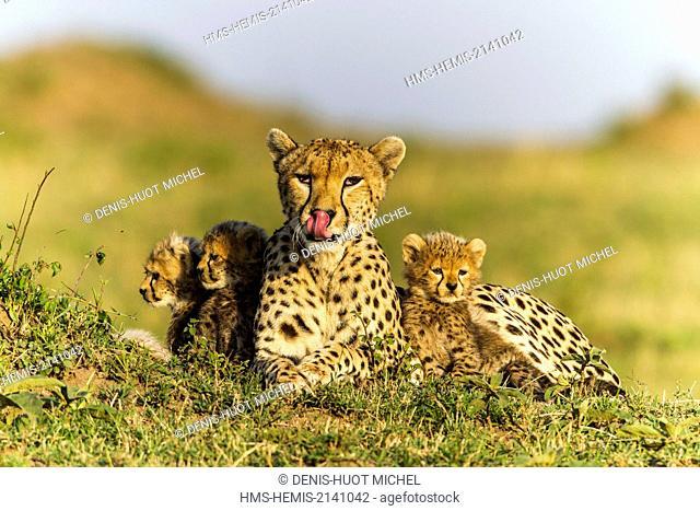 Kenya, Masai Mara game Reserve, cheetah (Acinonyx jubatus), female and cubs 8/9 weeks old