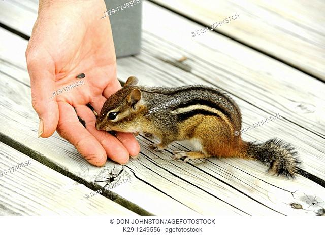Feeding a tame chipmunk