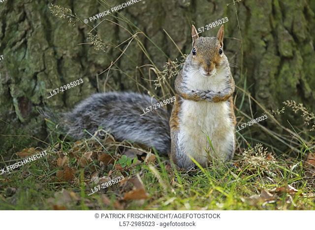 Grey squirrel, Richmond Park, England