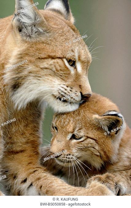 Eurasian lynx (Lynx lynx), female smooching with cub