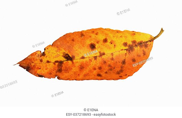 Fallen willow leaf close up isolated on white background