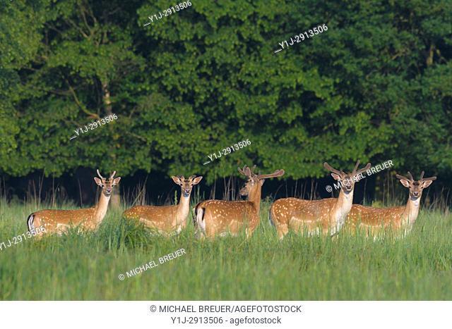 Herd of Fallow Deers (Cervus dama), Spring, Hesse, Germany, Europe
