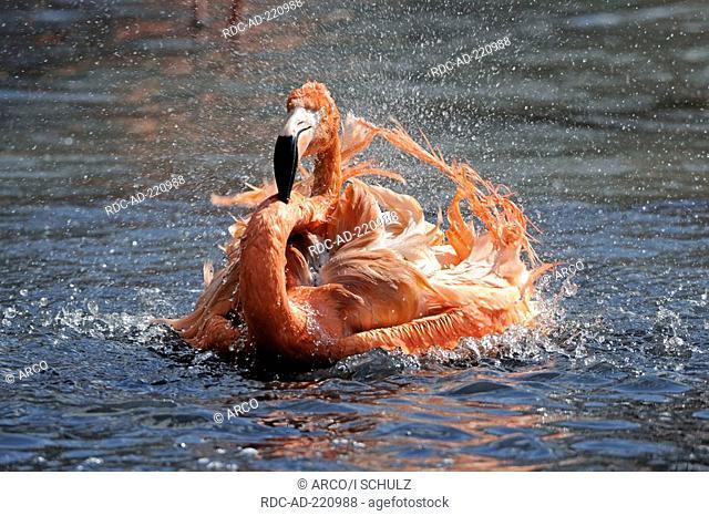 American Flamingo, Phoenicopterus ruber ruber
