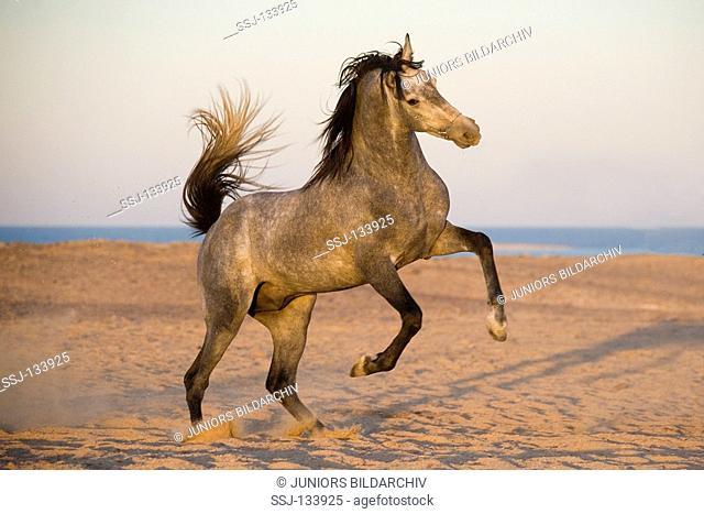 Arabian horse - jumping