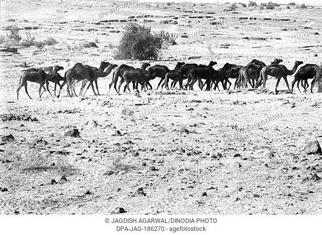 Camel herd at Sam Khuri village Jaisalmer Rajasthan India Asia 1984