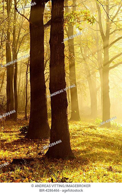 Oak (Quercus sp.) forest in autumn, sun rays, morning fog, Ziegelroadaer Forst, Saxony-Anhalt, Germany