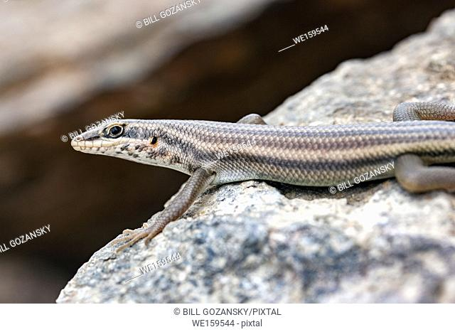 Close-up of Skink / Lizard Species - Huab Conservancy, Damaraland, Namibia, Africa