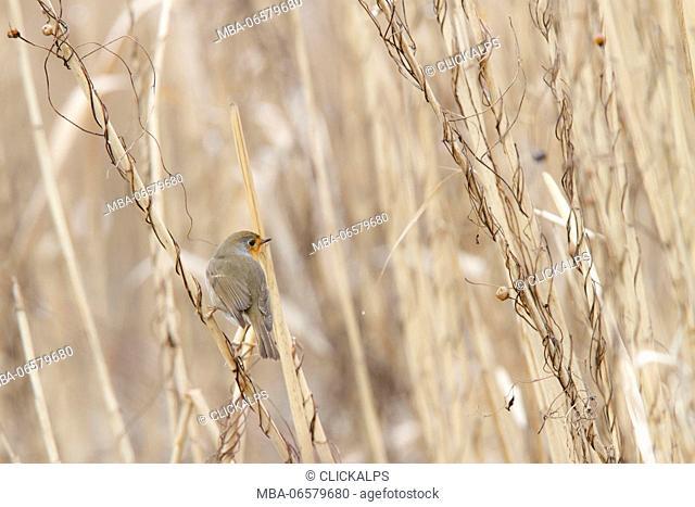 Sebino Natural Reserve, Lombardy, Italy, Robin