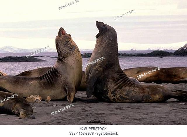ANTARCTICA, SOUTH SHETLAND ISLANDS, KING GEORGE ISLAND, LION'S RUMP, ELEPHANT SEALS ON BEACH FIGHTING
