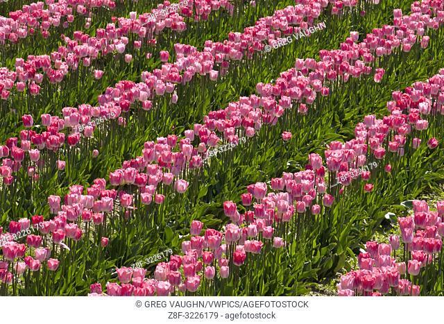 Tulips at Roozengaarde tulip fields, Skagit Valley, Washington