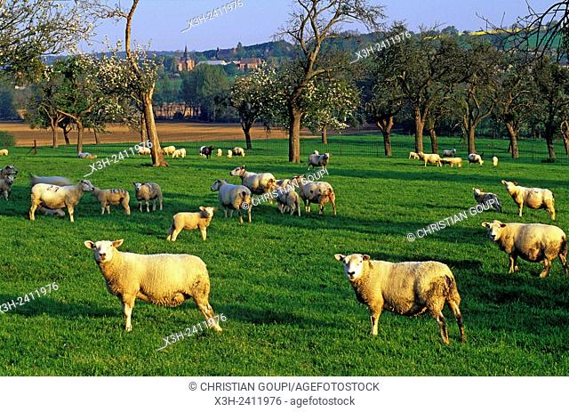flock of sheep into the pasture near Burelles in the Thierache region, Aisne department, Picardy region, northern France, Europe