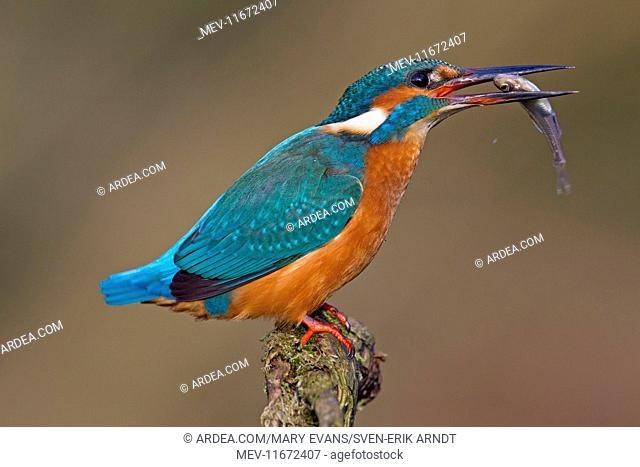 Common Kingfisher with fish prey in beak