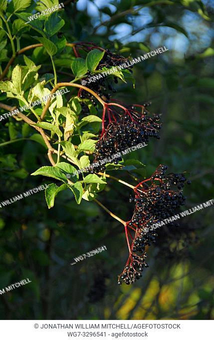 Elderberries in the late evening summer sun in the English countryside of Bedfordshire England UK