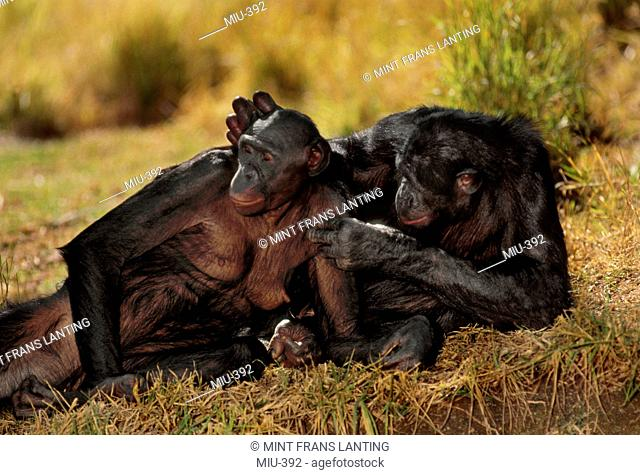 Bonobo male grooming female, Pan paniscus, Native to Congo, DRC, Democratic Republic of the Congo