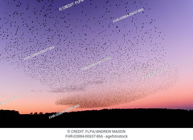 Common Starling (Sturnus vulgaris) flock, in roosting flight over wetland at sunset, Leighton Moss RSPB Reserve, Lancashire, England, November