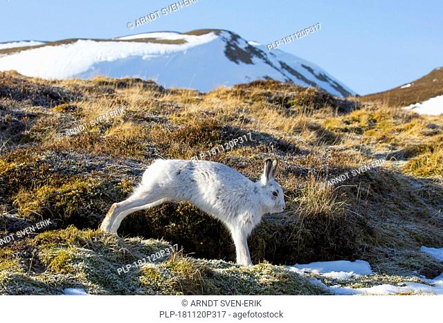 Mountain hare / Alpine hare / snow hare (Lepus timidus) in white winter pelage stretching limbs in the Cairngorms National Park, Scotland, UK