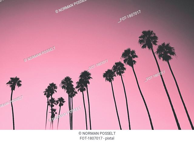 Silhouetted palm trees against pink sky, Santa Barbara, California, USA