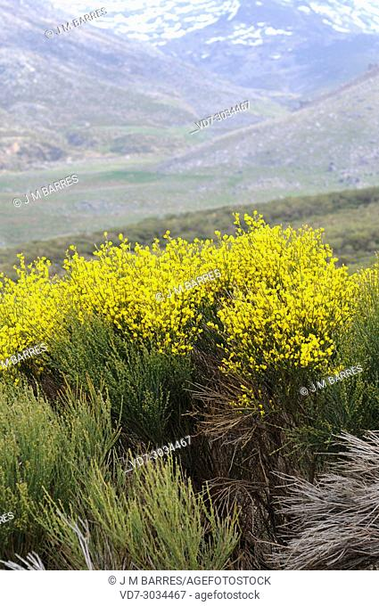 Piorno serrano (Cytisus oromediterraneus or Cytisus purgans) is a shrub native to mountains of Iberian Peninsula, France and north Africa
