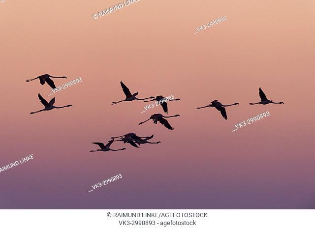 European Flamingo, Great Flamingo, Phoenicopterus roseus, in Flight, Sunrise, Saintes-Maries-de-la-Mer, Parc naturel régional de Camargue, Languedoc Roussillon