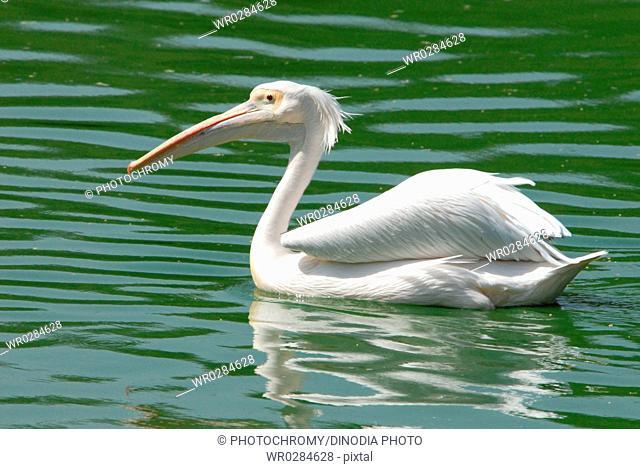 Pelican bird floating in water , Delhi zoo , Delhi , India