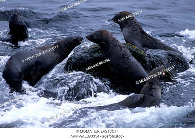 N. Fur Seal, young males playing (Callorhinus ursinus), St Paul Isl., Pribilofs, AK