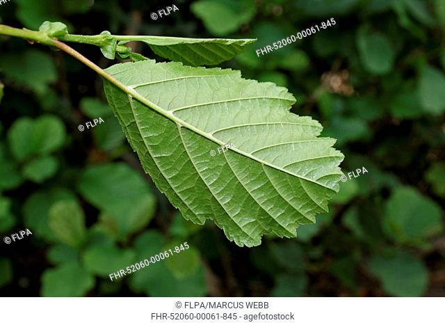 Common Alder (Alnus glutinosa) close-up of leaf underside, growing in hedgerow beside ditch, Mendlesham, Suffolk, England, August