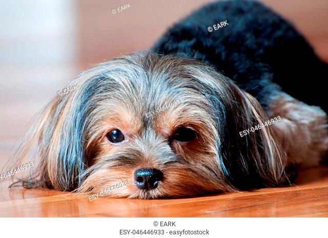 Sleepy Brown Face with Black Fur Small Yorkshire Terrier Puppy Lying Down Chin on the Wooden Floor Gazing at Camera Close Up Portrait
