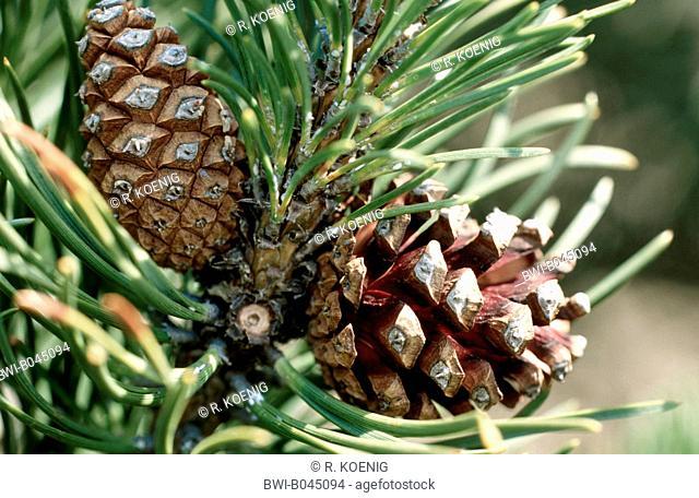 Mountain pine, Mugo pine (Pinus mugo), ripe cones