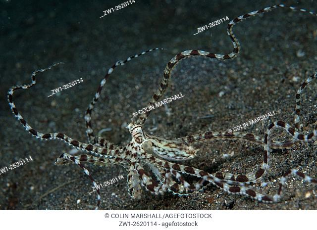 Mimic Octopus (Thaumoctopus mimicus) raising tentacles on black sand, Rojas dive site, Lembeh Straits, Sulawesi, Indonesia