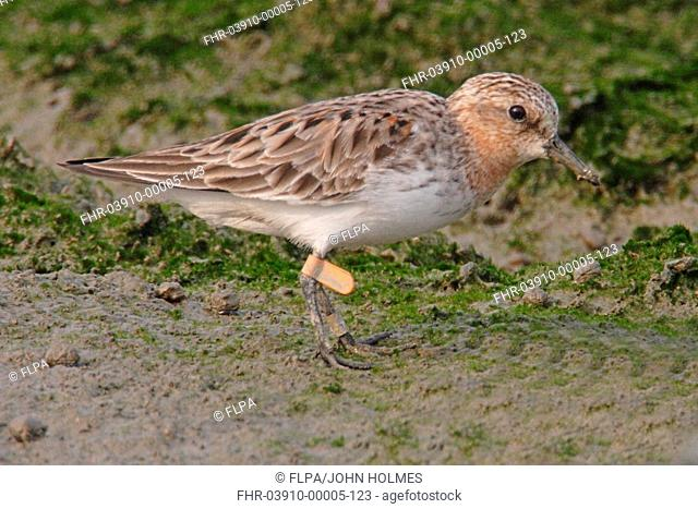 Red-necked Stint Calidris ruficollis adult, breeding plumage, tagged with Australian leg flag, Mai Po, Hong kong, China, spring