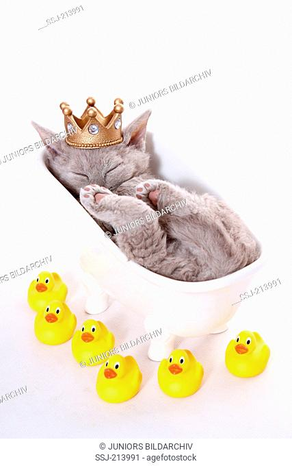 Selkirk Rex. Kitten wearing a crown, sleeping in a bathtub, surrounded by rubber ducks. Studio picture against a white background. Germany