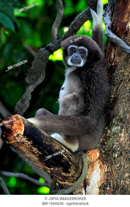 Lar Gibbon or White-handed Gibbon (Hylobates lar), adult hanging from a tree, Asia