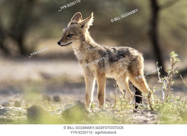 Young black-backed jackal (Canis mesomelas) - Onkolo Hide, Onguma Game Reserve, Namibia, Africa