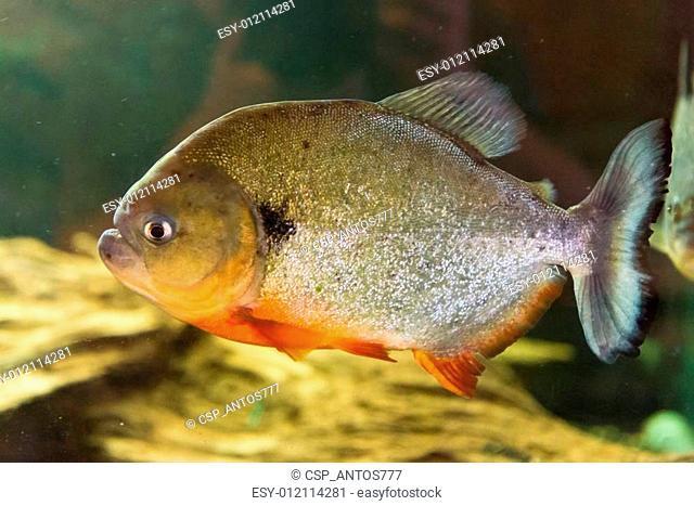 Red Bellied Piranha - Pygocentrus nattereri