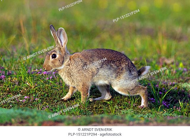 Young European rabbit / common rabbit (Oryctolagus cuniculus) in meadow in summer