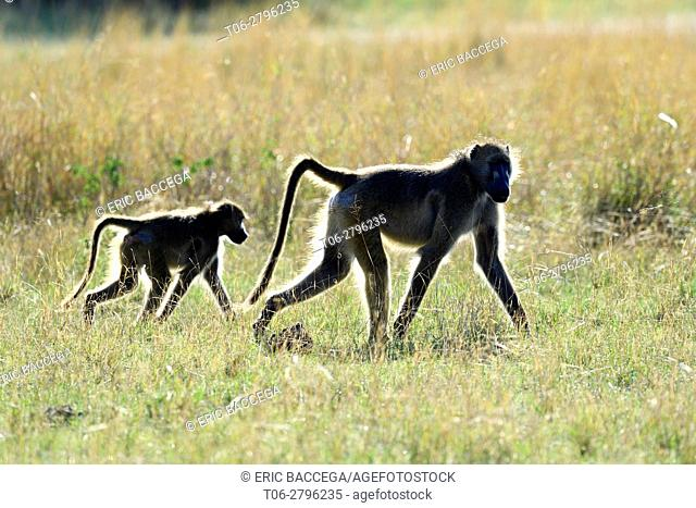 Two Chacma baboon (Papio ursinus) walking in the savanna. Hwange National Park, Zimbabwe