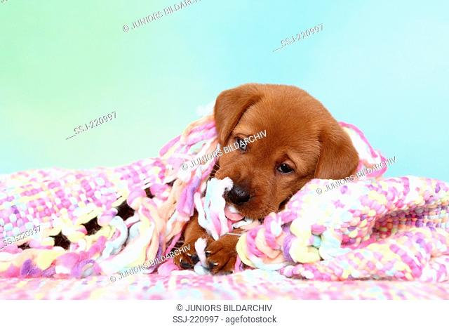 Labrador Retriever. Puppy (5 weeks old) sitting under a multicolored blanket. Germany. Studio picture seen against a turquoise background