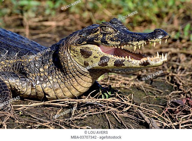 Brazil, Pantanal, yacare caiman, Caiman yacare, sunbathing at the riverside