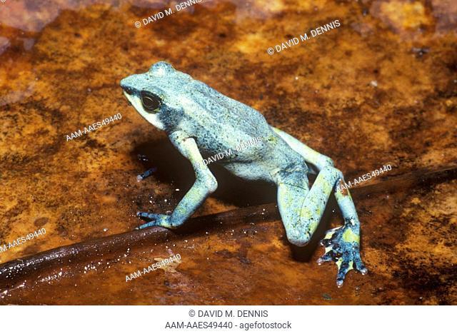 Variable Harlequin Frog (Atelopus varius), Monte Verde, Costa Rica