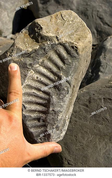 Ammonite fossil with a hand to compare the size, Nash Point, Glamorgan Heritage Coast, South Wales, Wales, United Kingdom, Europe
