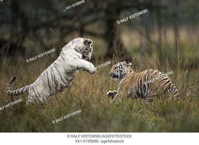 Bengal Tiger (Panthera tigris tigris), in playful fight, fighting, training their strength and skills