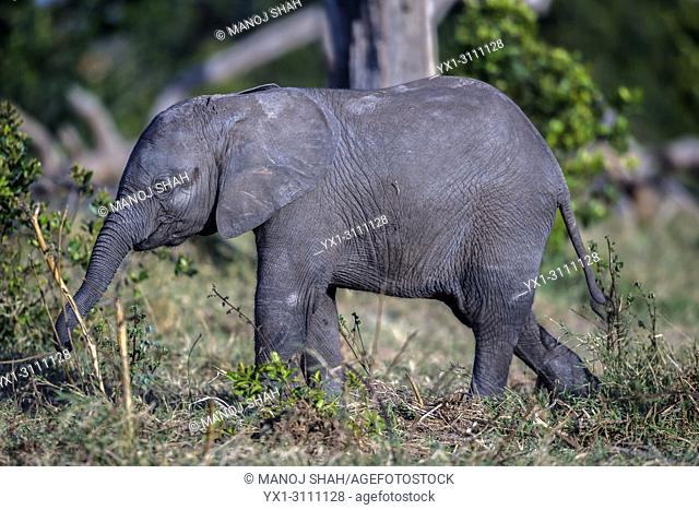 African Elephant baby playing with a stick in Ol Pejeta, Laikipia