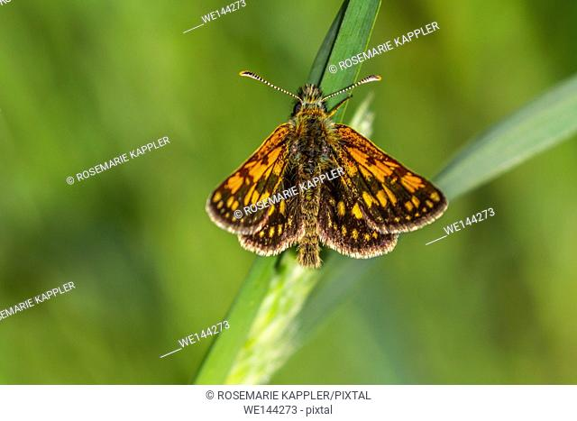 Germany, Saarland, Bexbach - An arctic skipper is sitting on a grass-stock